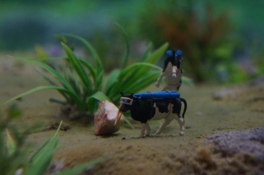 vaca scubatica
