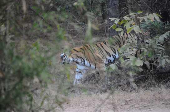 tigresa cu 4 pui