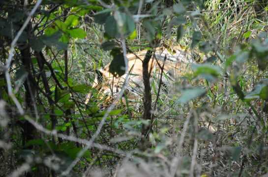pameera, alfa tiger